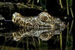 Crocodyle