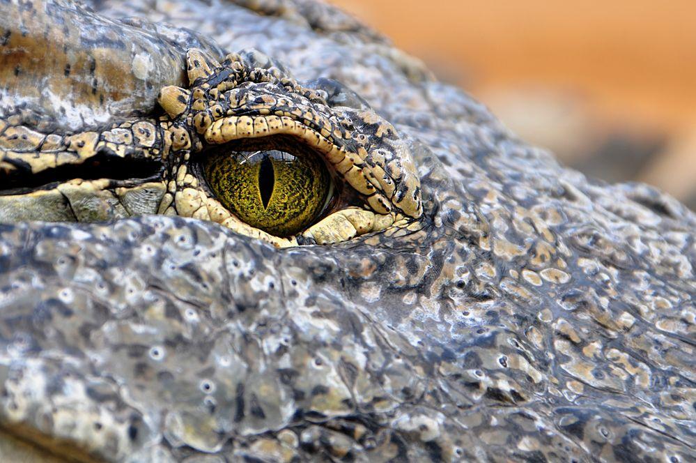 Crocodylus niloticus