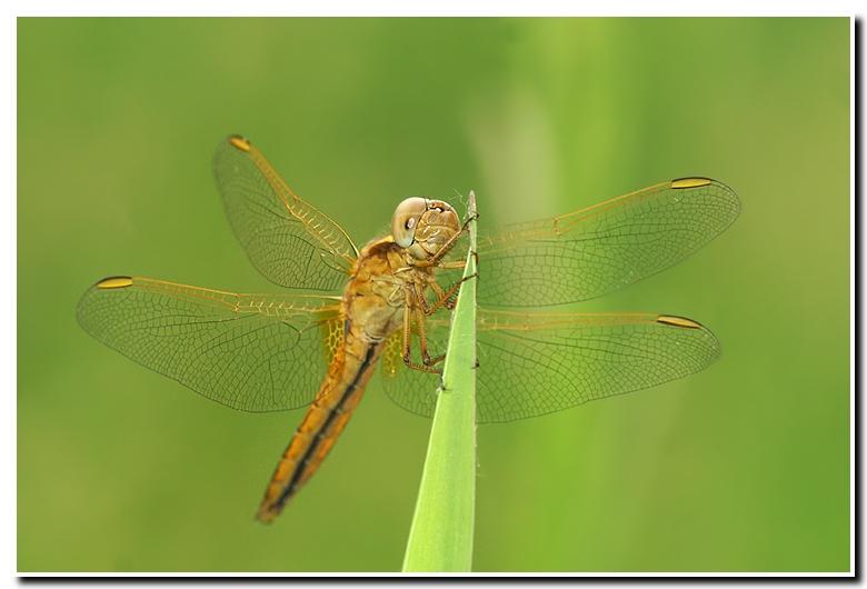 Crocothemis erythraea - Feuerlibel (jungtier)