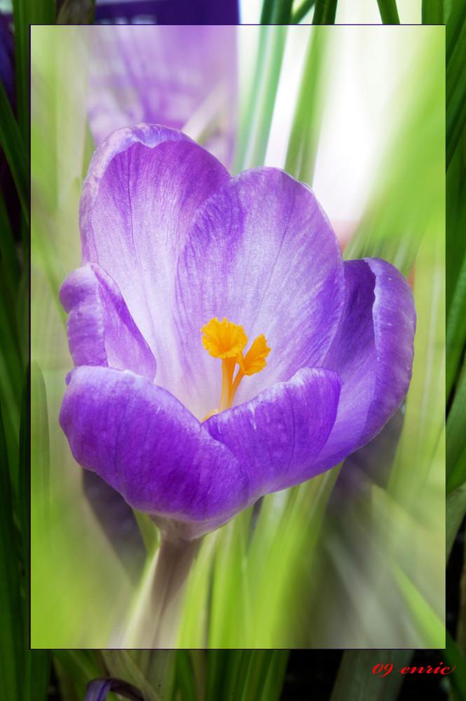 Crocus en fleur