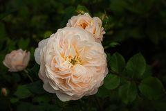 Crocus-Rose ~ Emanuel...