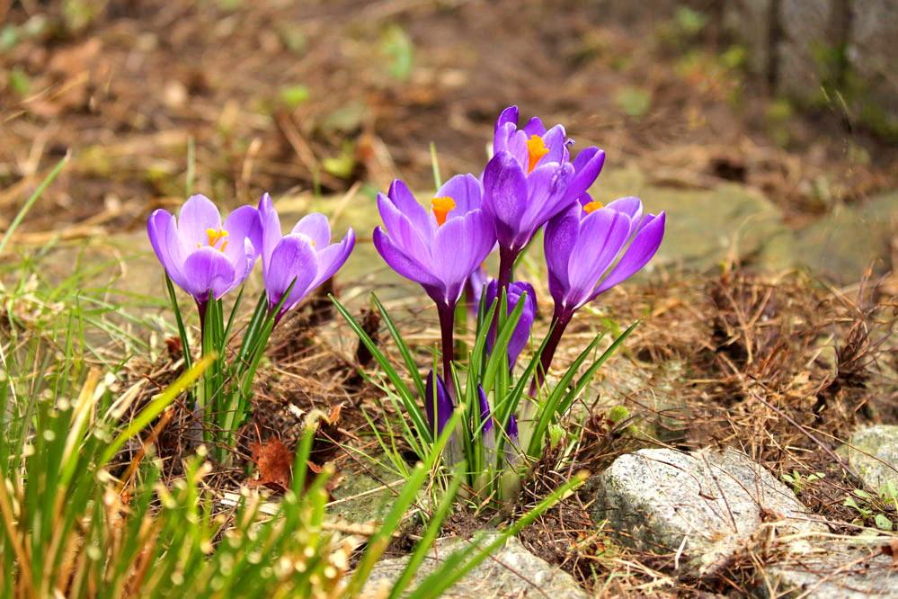 Crocus - und der Frühling kommt doch