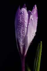 Crocus with droplets