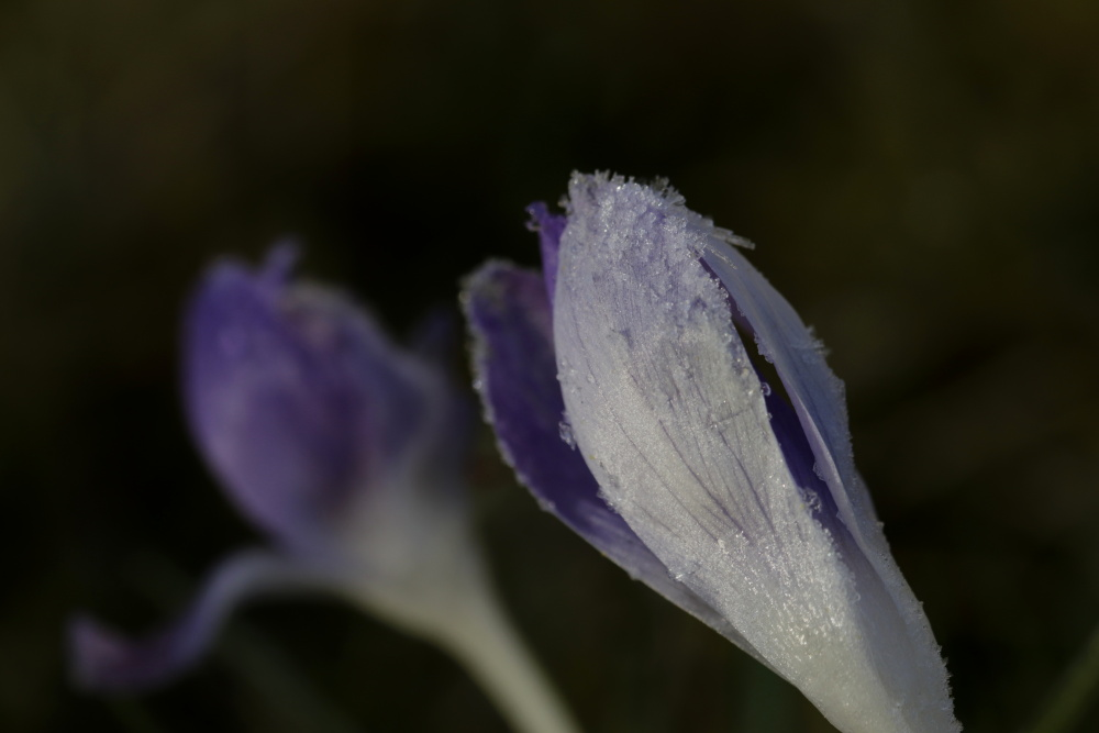 Crocus with white frost