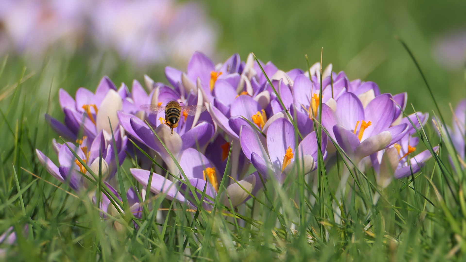... crocuses at the end of February