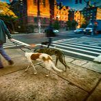 Crossing dogs, NY, 2012