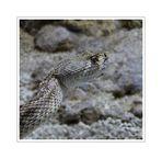 Crotalus adamanteus - Diamant-Klapperschlange