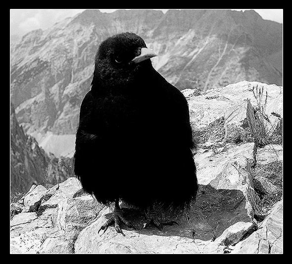 Crow of the mountains