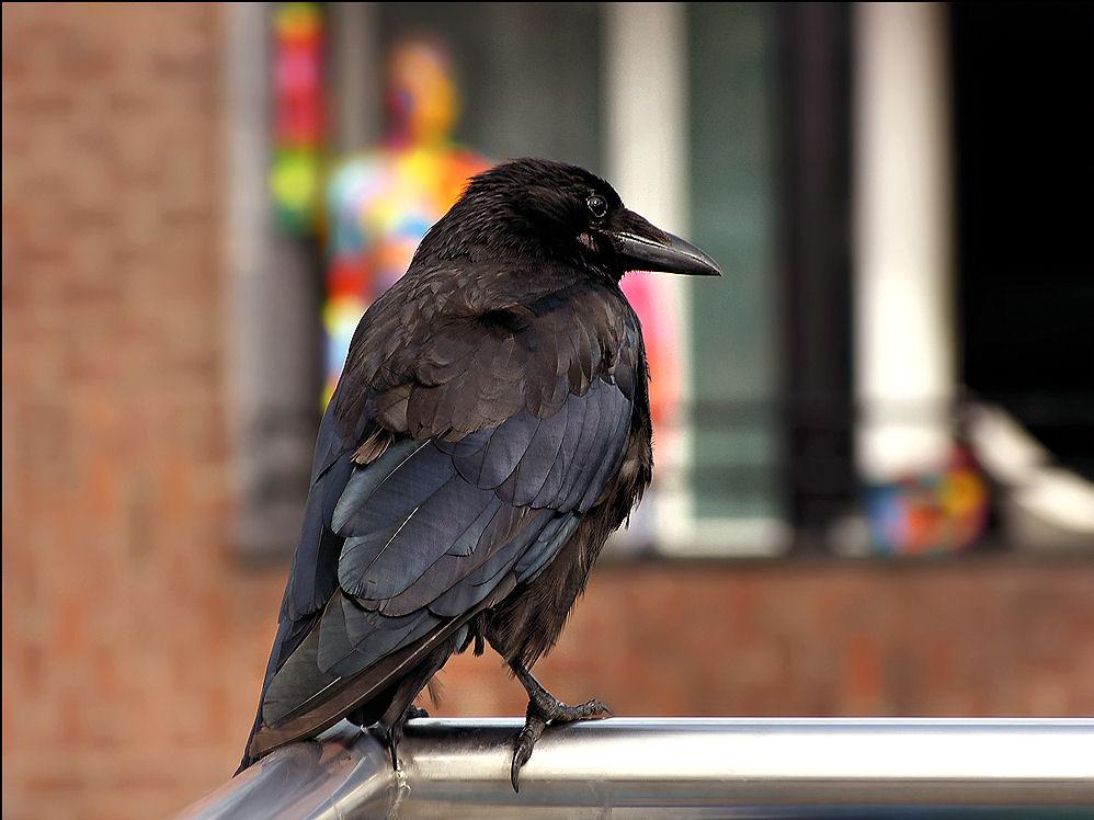 Crow on the balcony