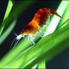 Crystal Red,  Bienengarnele, ( Caridina cf. cantonensis )
