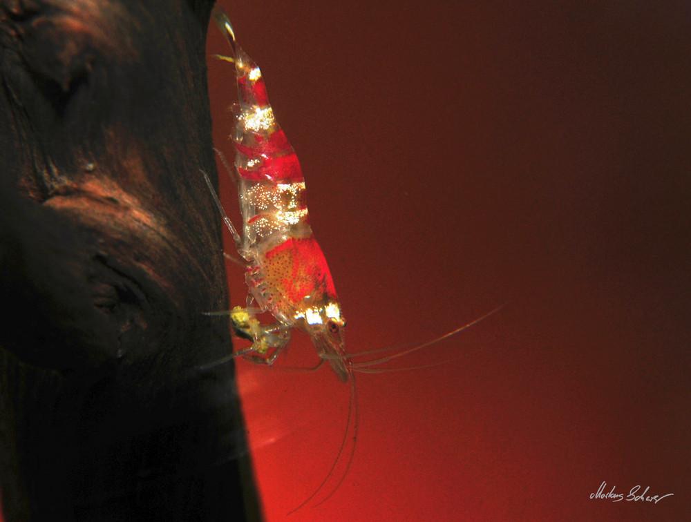 Crystal Red Garnele 02