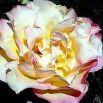 Cuando las Rosas inundan mi Cole