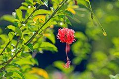 Cuba flowers