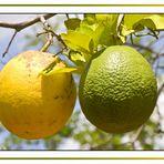 Cuba - Schweinebucht - Orangen