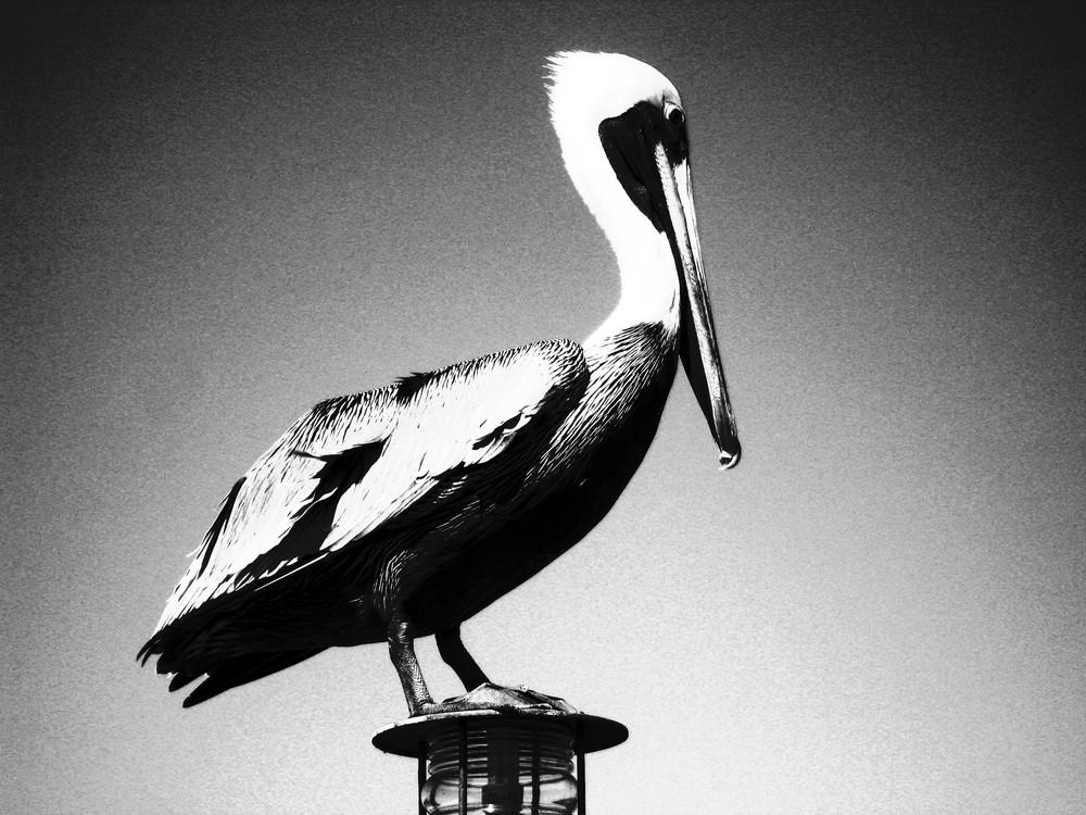 Cuban Pelikan