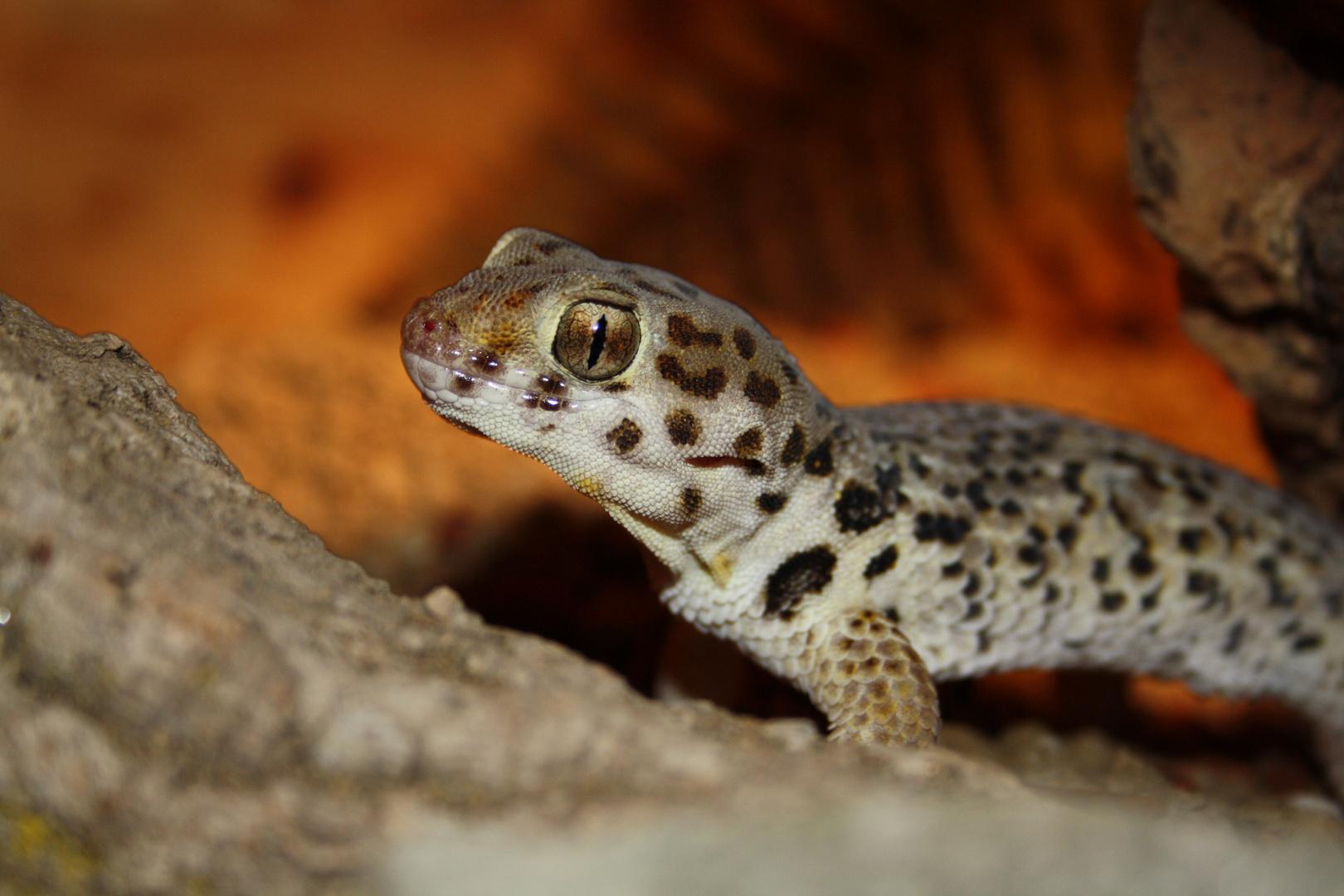 Cube, My Gecko