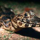 cucciolo di caimano