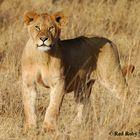 Cucciolo di Leone (Tanzania)
