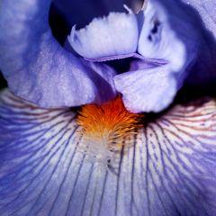 Cuore di iris