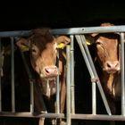 ... curious cows