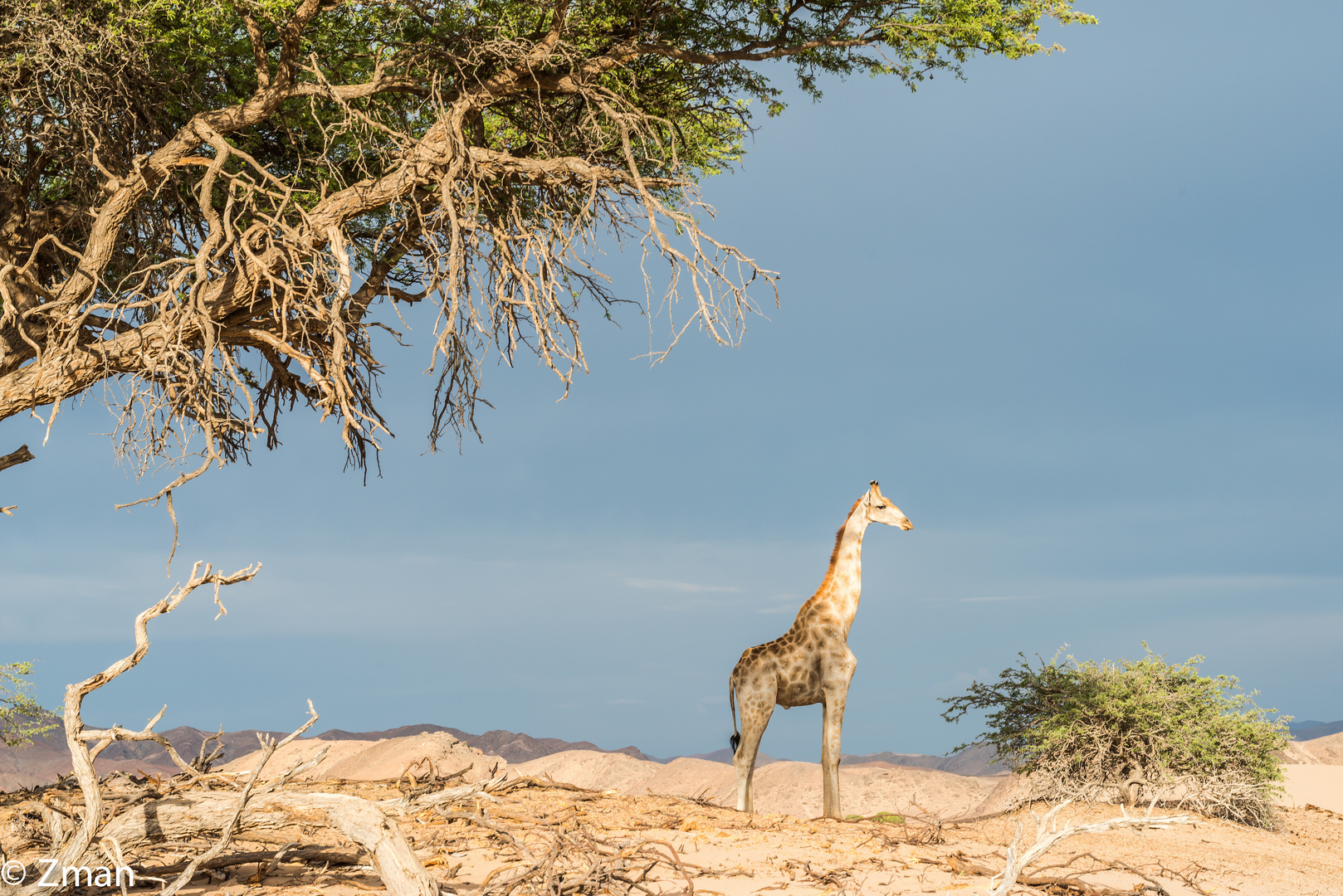 Curious Giraffe 01