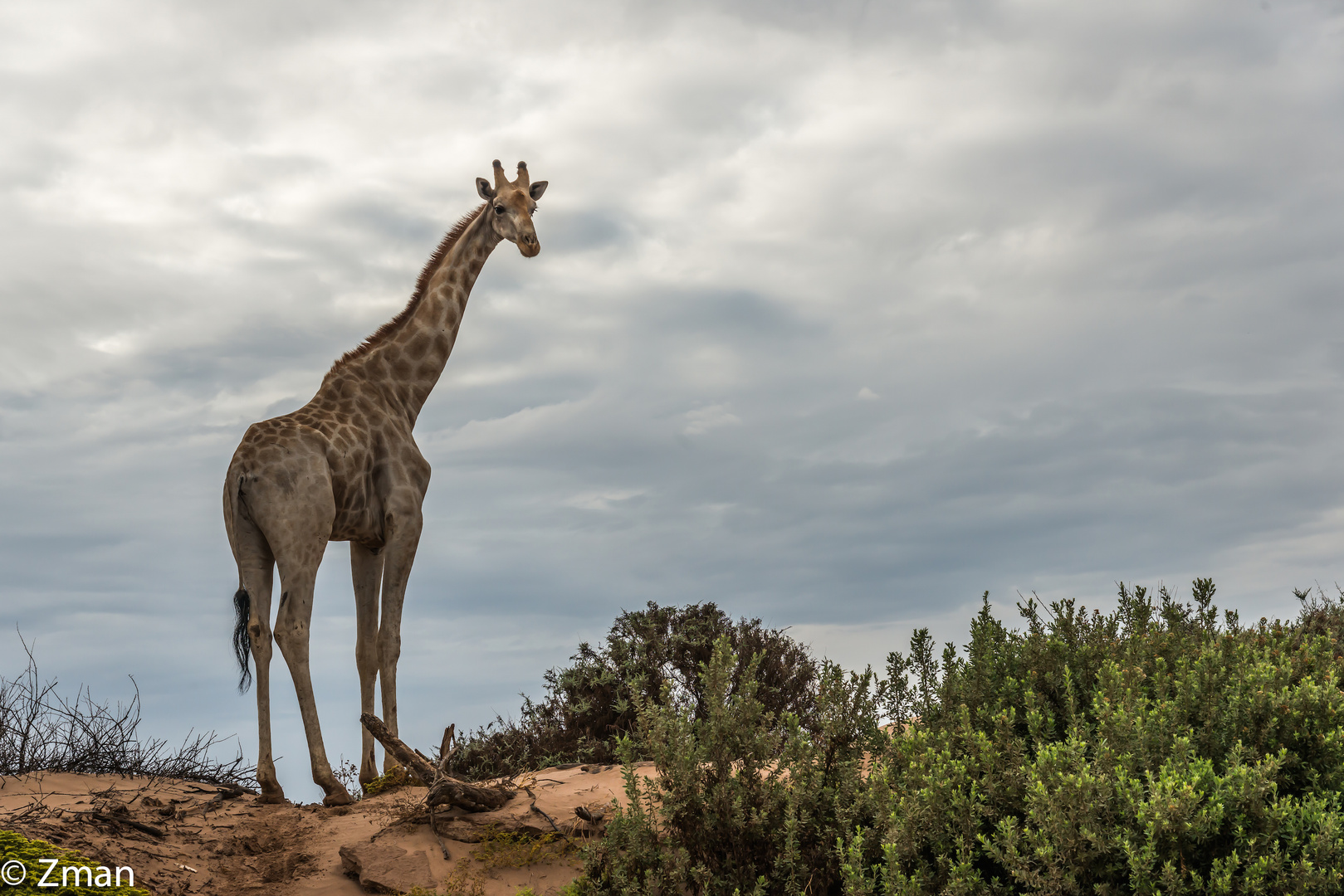 Curious Giraffe 03
