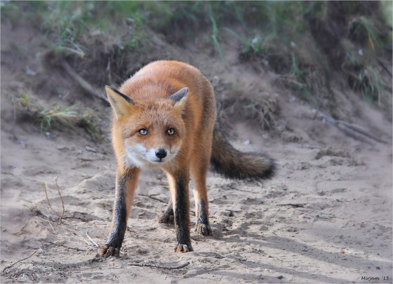 Curious little fox (2) ...