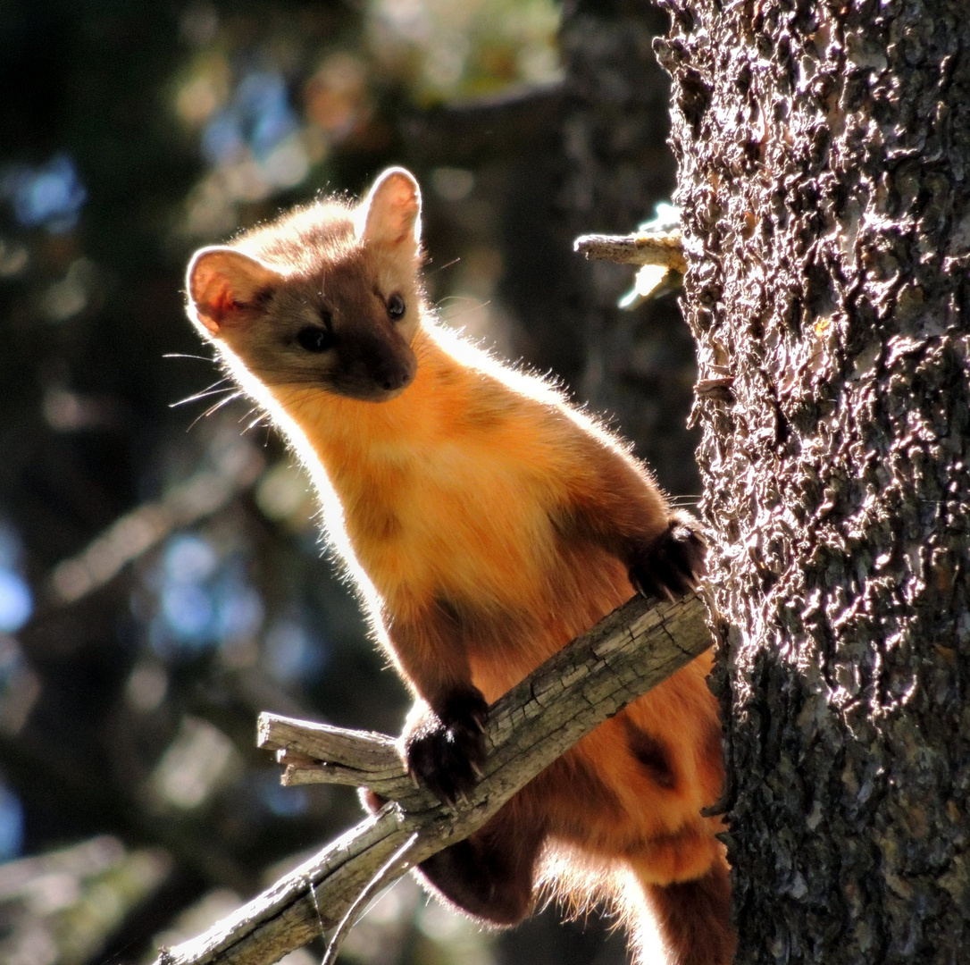 curious pine marten