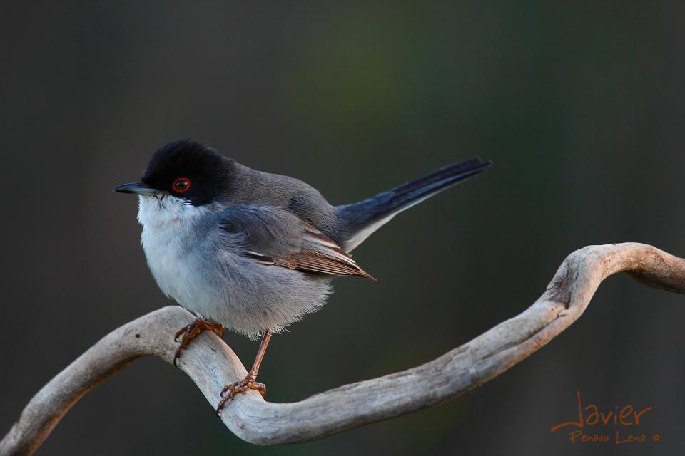 Curruca cabecinegra macho (Sylvia melanocephala)