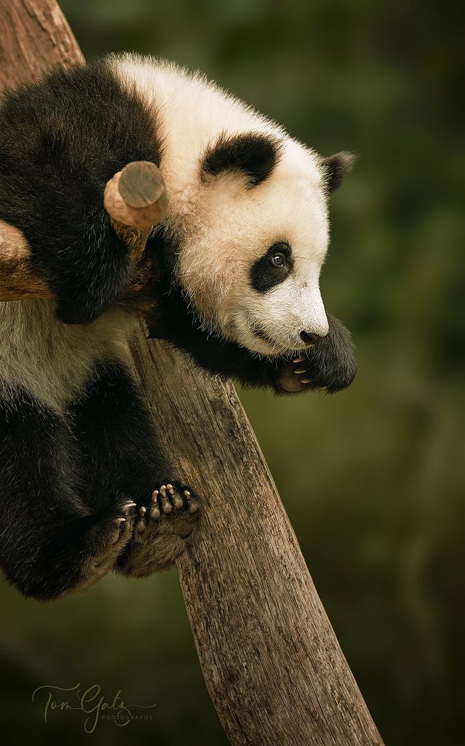 cute hanging panda baby
