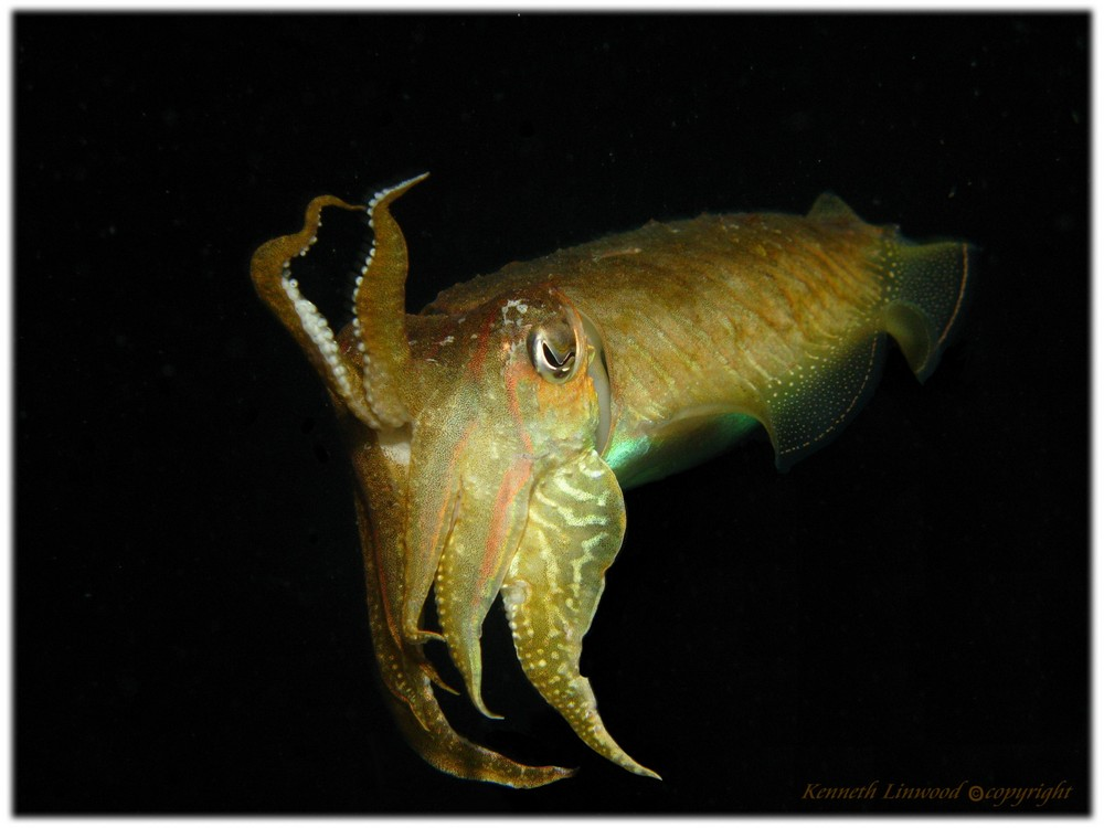 Cuttle fish at night