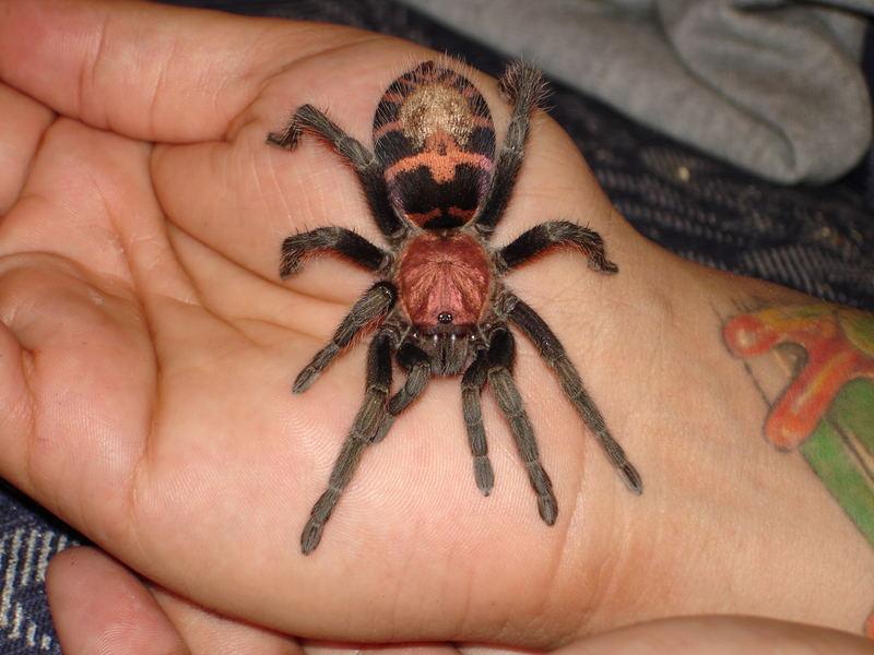 cyclosternun fasciatum tarantulas la costa rica