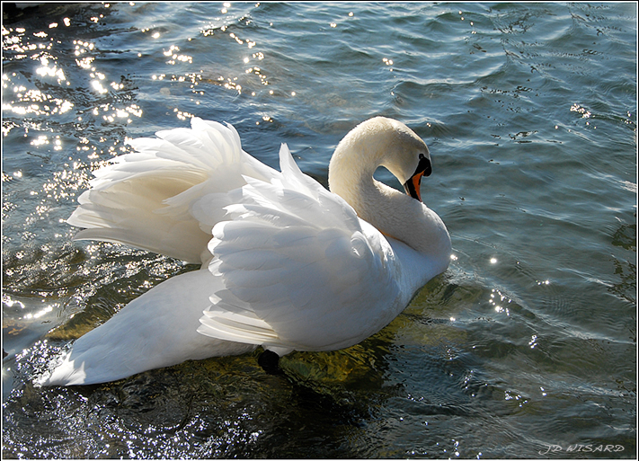 ....Cygne et diamants....