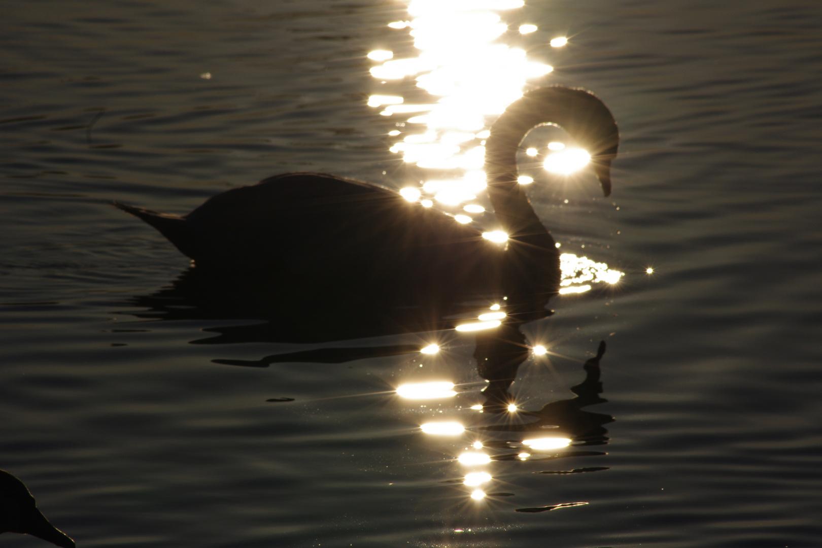 Cygne sur la Saône