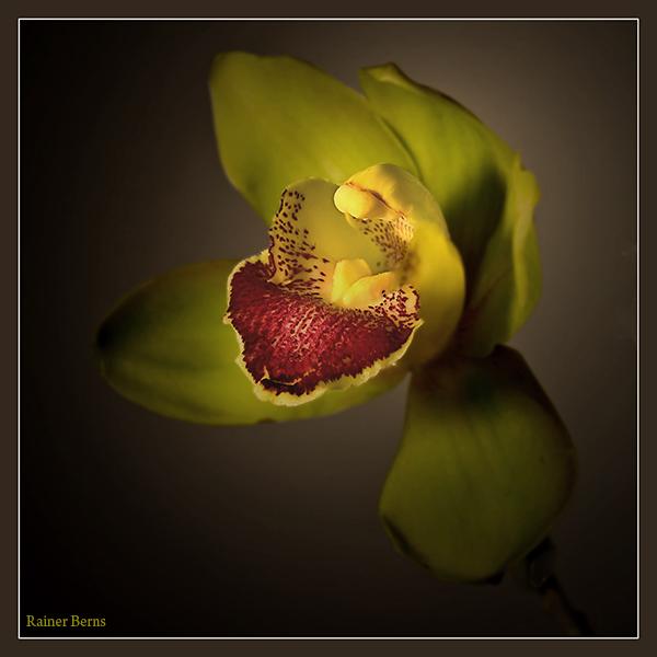 Cymbidie Orchidee