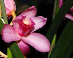 Cymbidium - Orchidee