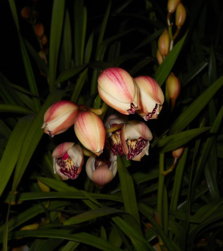 cymbidium orchidee die gerade aufgeht