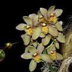 Cymbidum Orchidee.