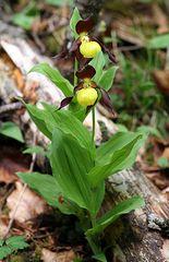 Cypripedium calceolus Maria und Hans Hermle gewidmet ,als Dank für die herrliche Orchideenexkursion