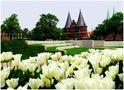 Tulpen am Holstentor von Petra Wittfoth