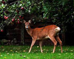 Da diese Apfeldiebe regelmäßig in den Garten kommen ...