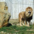 Da grinst der löwe