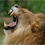 Da ist selbst der König der Tiere machtlos