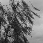 Da kommt der Wind aus dem Westen und schüttelt den Baum geschwind und weht herab von den Ästen......