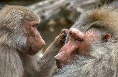 Da laust mich doch der Affe .....