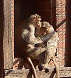 Da laust mich doch der Affe