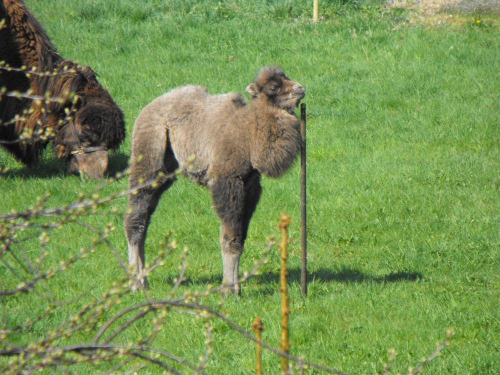 da steht 'n Kamel im Garten_Langelsheim