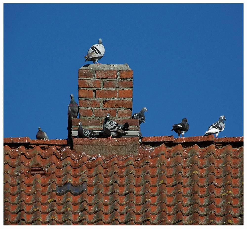 Dach - Tauben