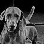 ... dachshund