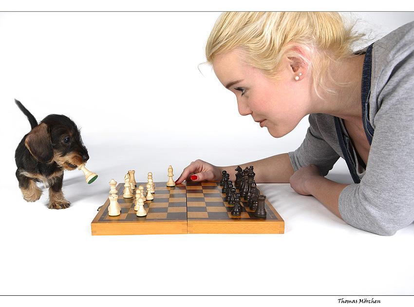 Dackel Schach